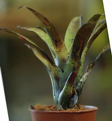 Tillandsia leiboldiana 'Guttata'