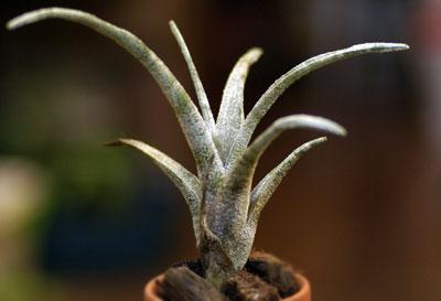 Tillandsia leucolepis