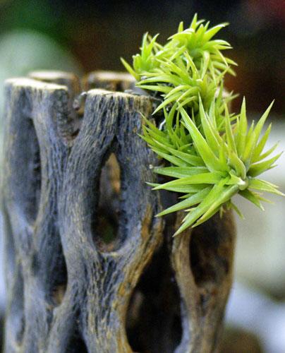 Tillandsia neglecta(Smallform)