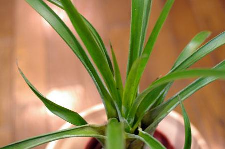 Tillandsia rhodosticta