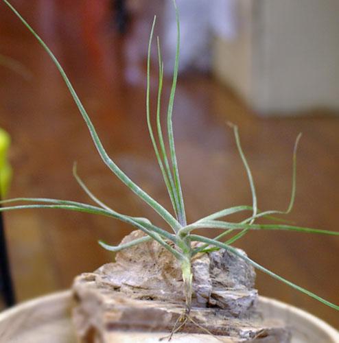 Tillandsia schiediana