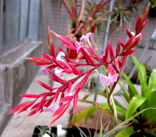 Tillandsia straminea 'Red Bract'