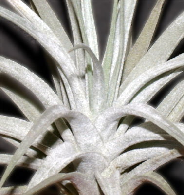 Tillandsia  stricta var.albifolia