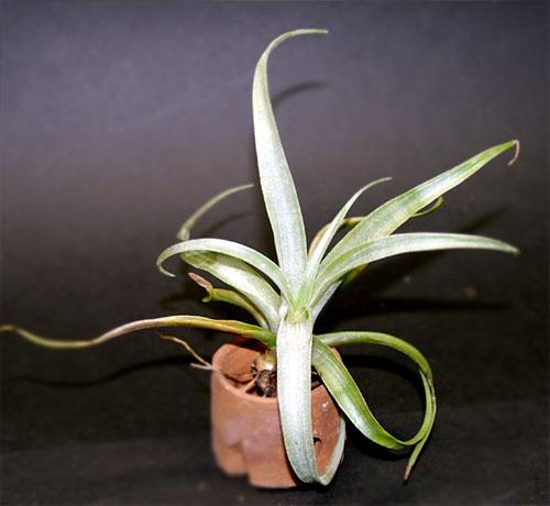 Tillandsia super-mexicana var.saxicola