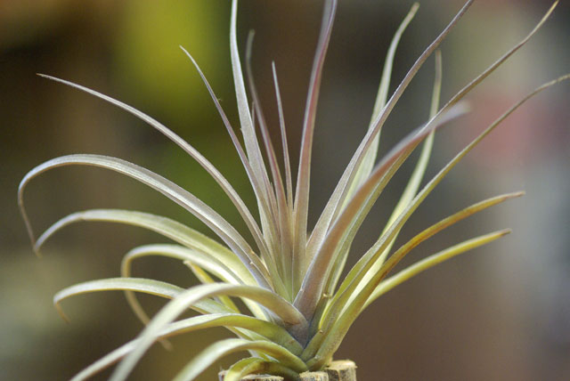 Tilllandsia aeranthos 'Purple Giant'