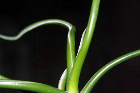 Tillandsia bulbosa forma alba