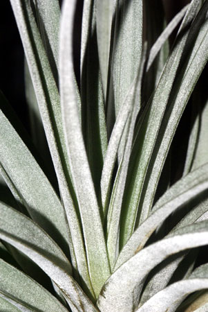 Tillandsia chiapensis X roland-gosselinii