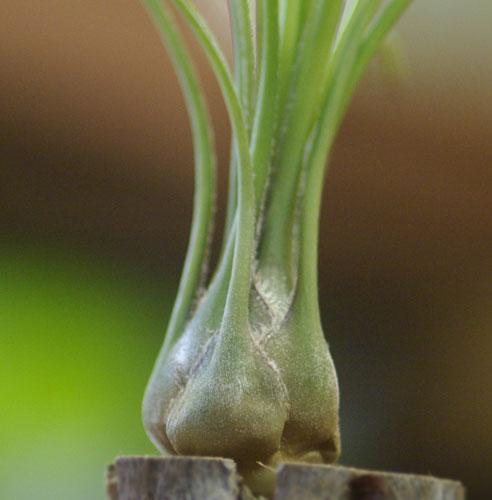 Tilllandsia disticha 'minor' (Green form)