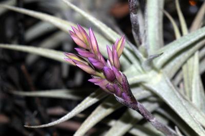 Tillandsia latifolia