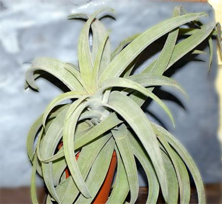 Tillandsia latifolia var.leucophylla
