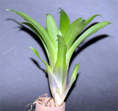 Tillandsia leiboldiana 'Small Clone'