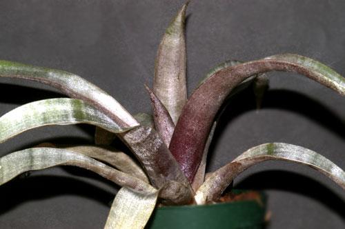 Tillandsia marnier-lapostollei
