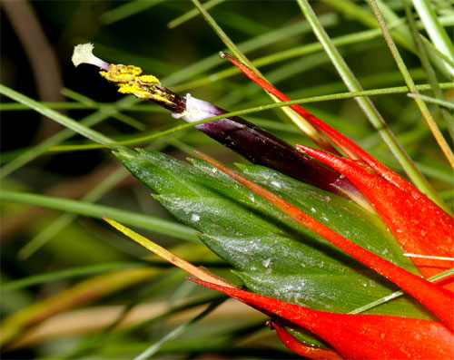 Tillandsia punctulata 'Minor'