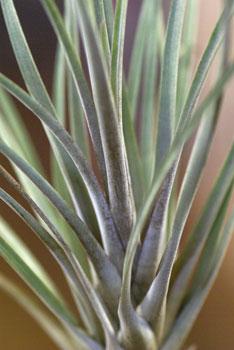Tillandsia sp. Peru unidentified