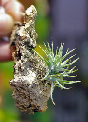 Tillandsia spiralipetala'