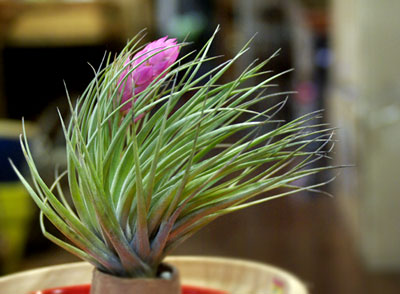 Tilllandsia stricta 'Rigid Leaf'