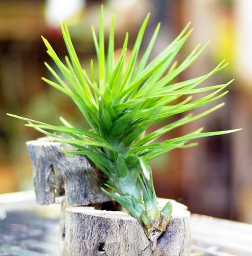 Tillandsia tenuifolia var.strobiliformis