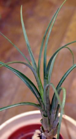 Tillandsia turquinensis