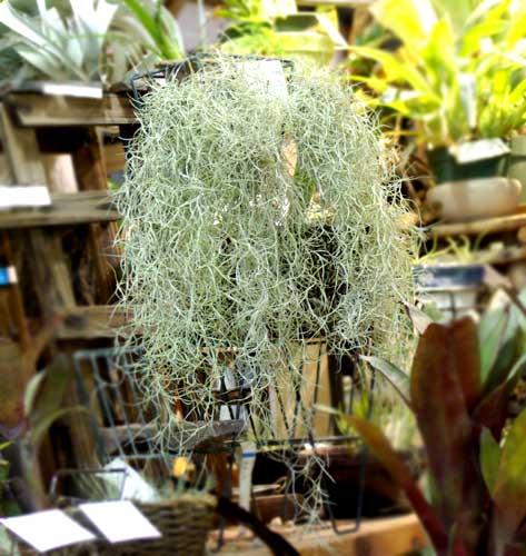 Tilllandsia usneoides