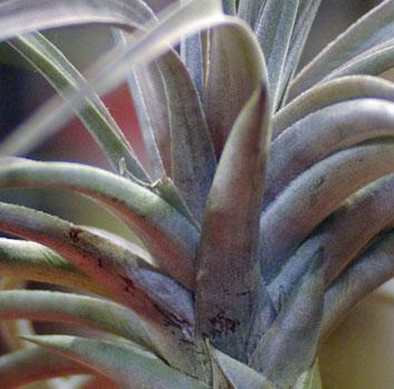 Tillandsia vernicosa 'Purple Clone'
