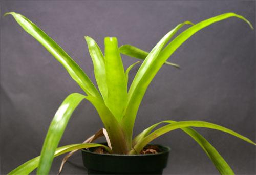 Tillandsia viridiflora