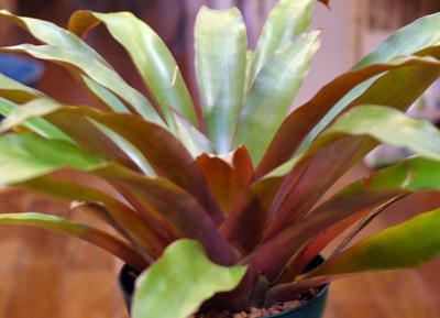 Tillandsia wagneriana 'Discolor Form'