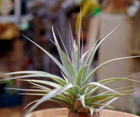 Tillandsia 'White Star