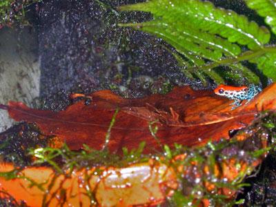 ヤドクガエルの産卵床に広葉樹の落ち葉